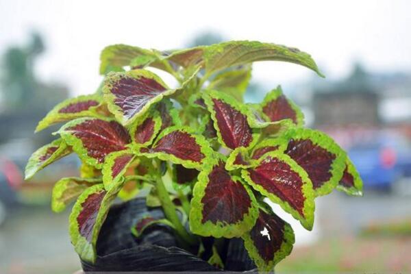 彩叶草养殖方法,总结彩叶草养殖5大要点