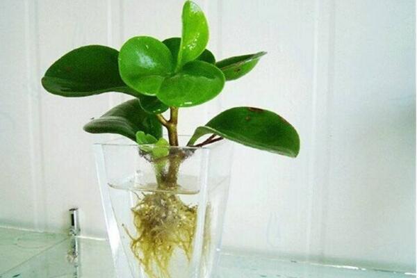 豆瓣绿可以水培吗,豆瓣绿水培详细步骤