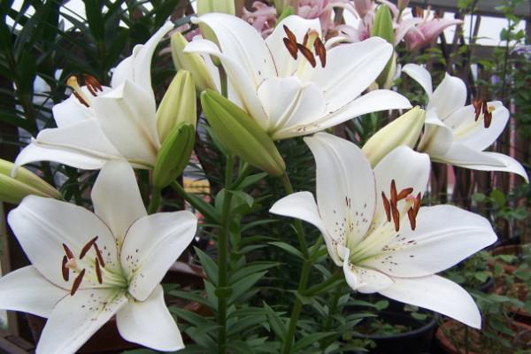 如何让百合分叉多开花,三种养殖手段让花多开