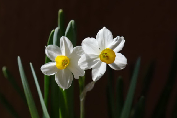 水仙花什么时候开花,春季1~3月份绽放