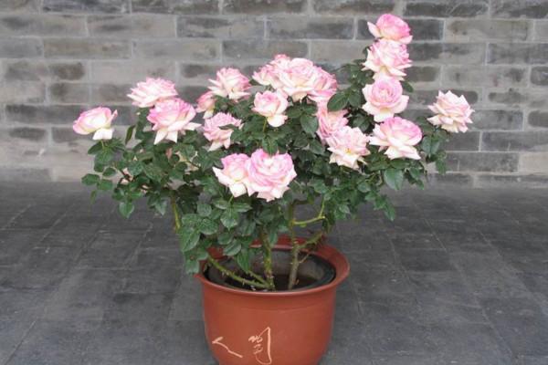盆栽月季花的养殖方法,保证每天6小时的光照时间