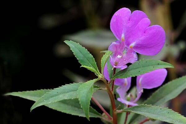 凤仙花可以放室内吗,不能放在室内会危害身体健康