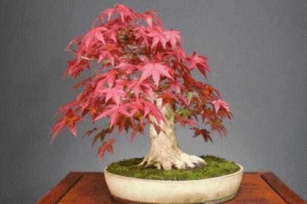 红枫盆栽怎么修剪,掌握修剪方法以及注意事项