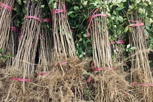 花椒树苗什么时候种植最好,南方春分前后北方8~9月