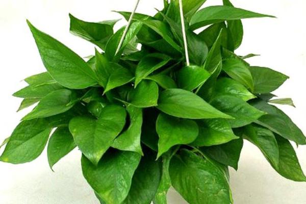 绿萝叶子发黑怎样救治,可提高温度遮蔽强光