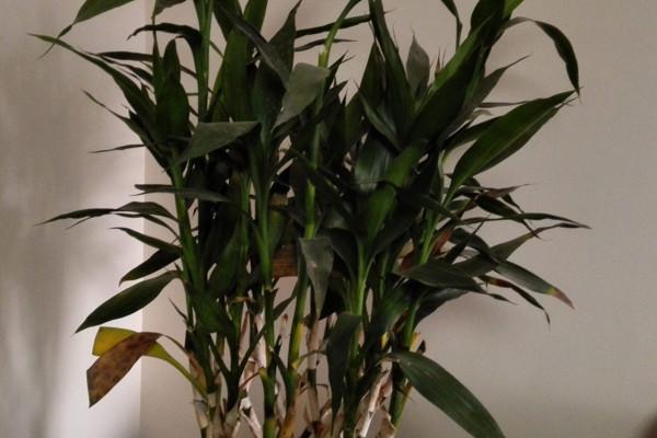 富贵竹叶子蔫了怎么办,适当遮蔽强光或及时换水