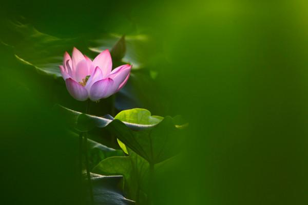 莲花的花语,纯洁/爱情/和美/友谊