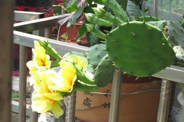 仙人掌适合放哪里,放在阳台更利于生长