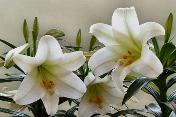 百合花放在卧室好吗,不好/花香过浓容易导致过敏
