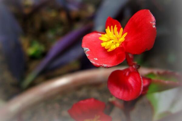 四季海棠冬天怎么养,做好以下几点植株就能顺利越冬