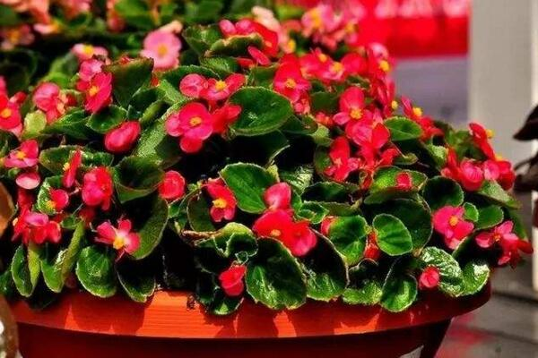 四季海棠有毒吗,没有毒性可以放在室内养护