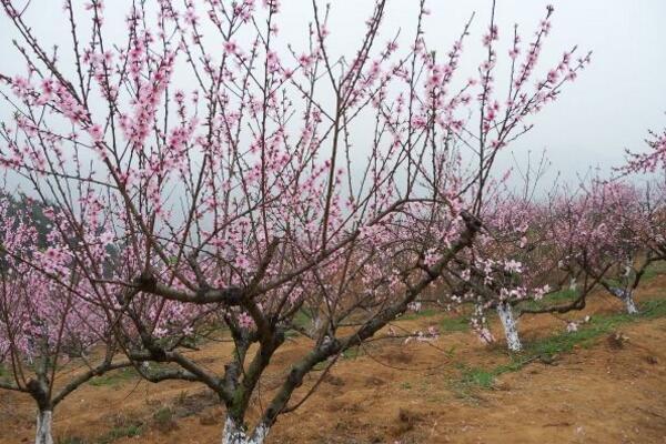 桃树秋天怎么养,及时追肥并适当修剪