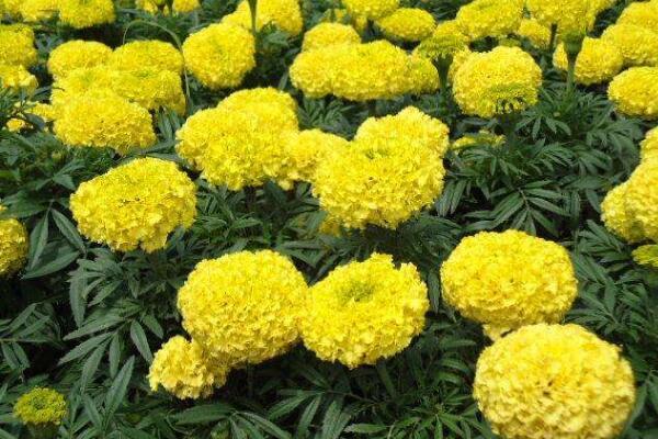 万寿菊种植方法,春秋季种植成活率最高