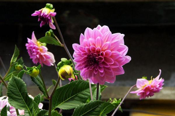 盆栽大丽花的养殖方法,大丽花日常养护5大要点