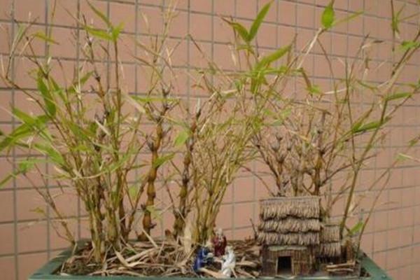 盆栽佛肚竹怎么修剪,佛肚竹修剪要点以及注意事项