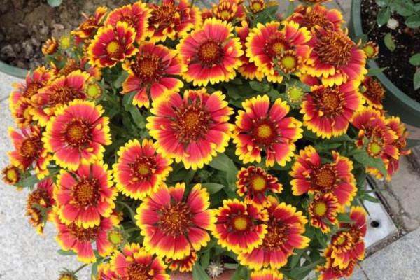 天人菊什么时候播种,每年的夏季播种成活率最高
