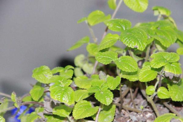 吸毒草烂根怎么办,及时修剪并更换土壤