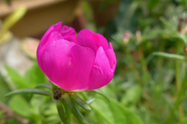 太阳花怎么养开花多,保证光照充足、养分充裕