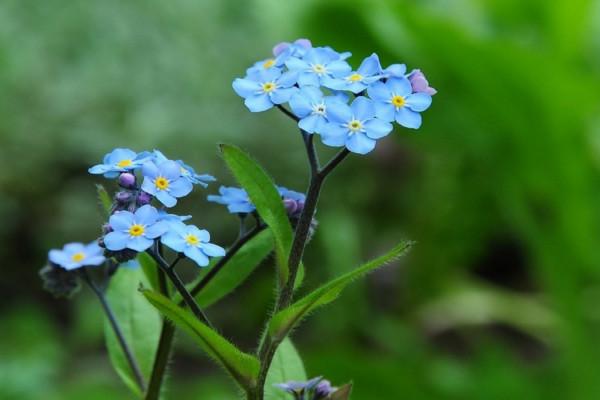 勿忘我种子怎么种,春秋季节种植成活率最高