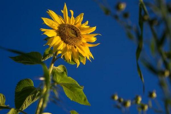 向日葵叶子枯萎怎么办,分析原因及时处理