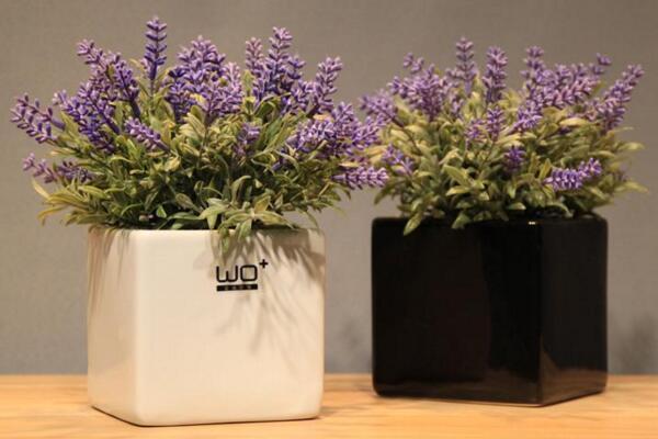 薰衣草的花期怎么养护,适当浇水并保证光照充裕